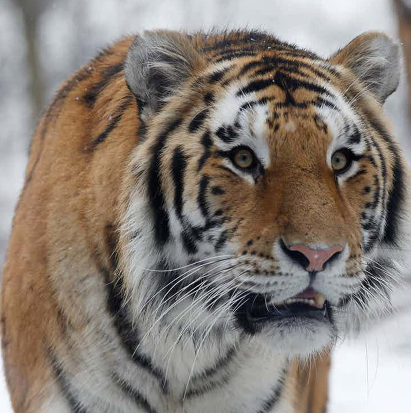 Tiger Frame: Amur Tiger photo