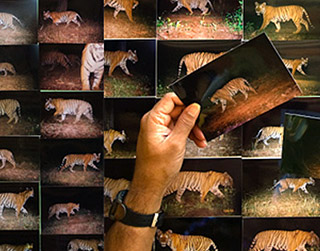 Governments announce collaboration to develop shared Bengal tigers photos database