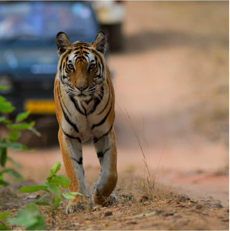 Tiger Frame: We tigers need digital mobility too!